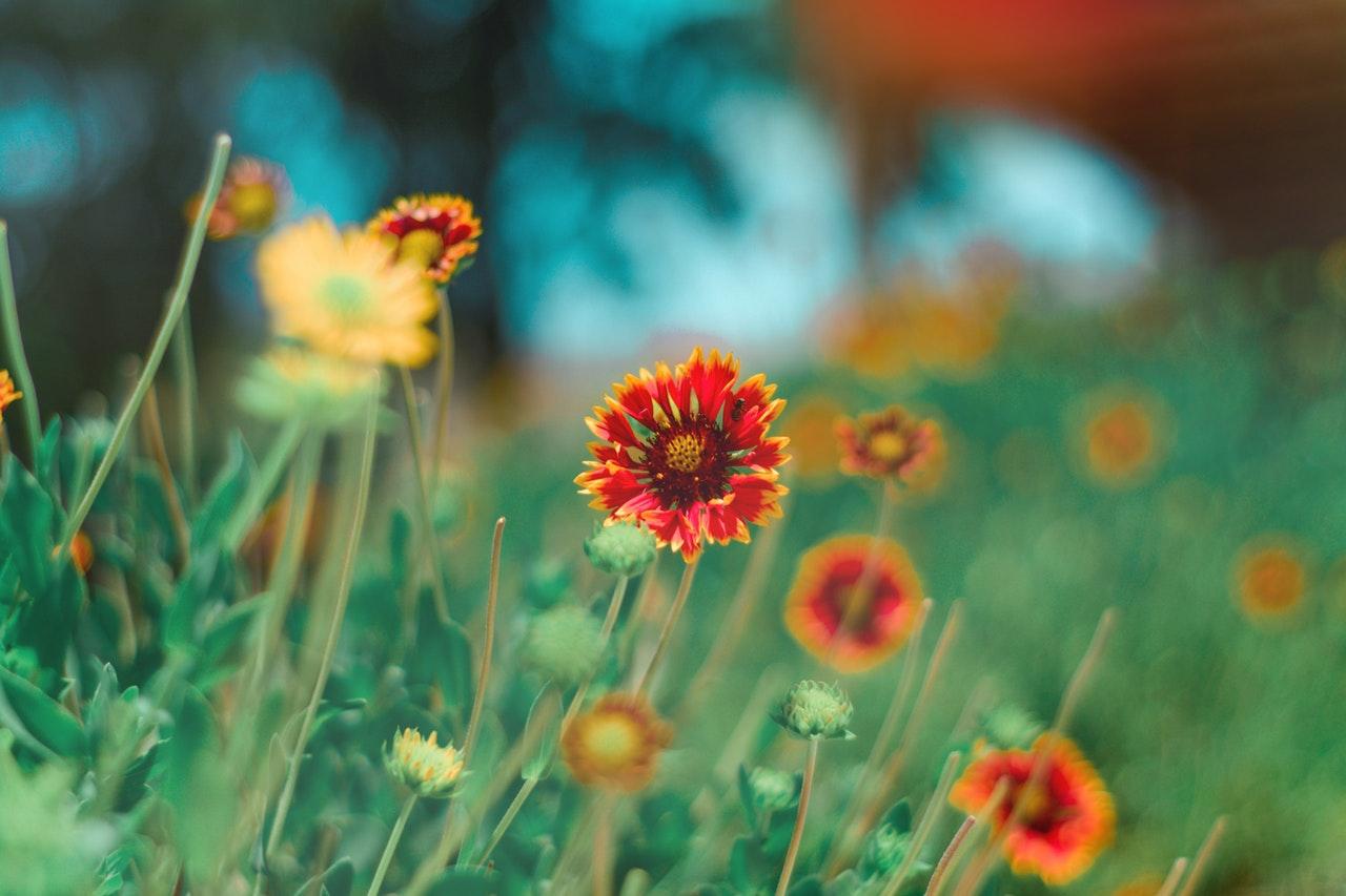 Ruby Rua a red sunflower